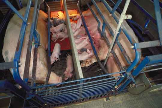 Hog in Farrowing Crate